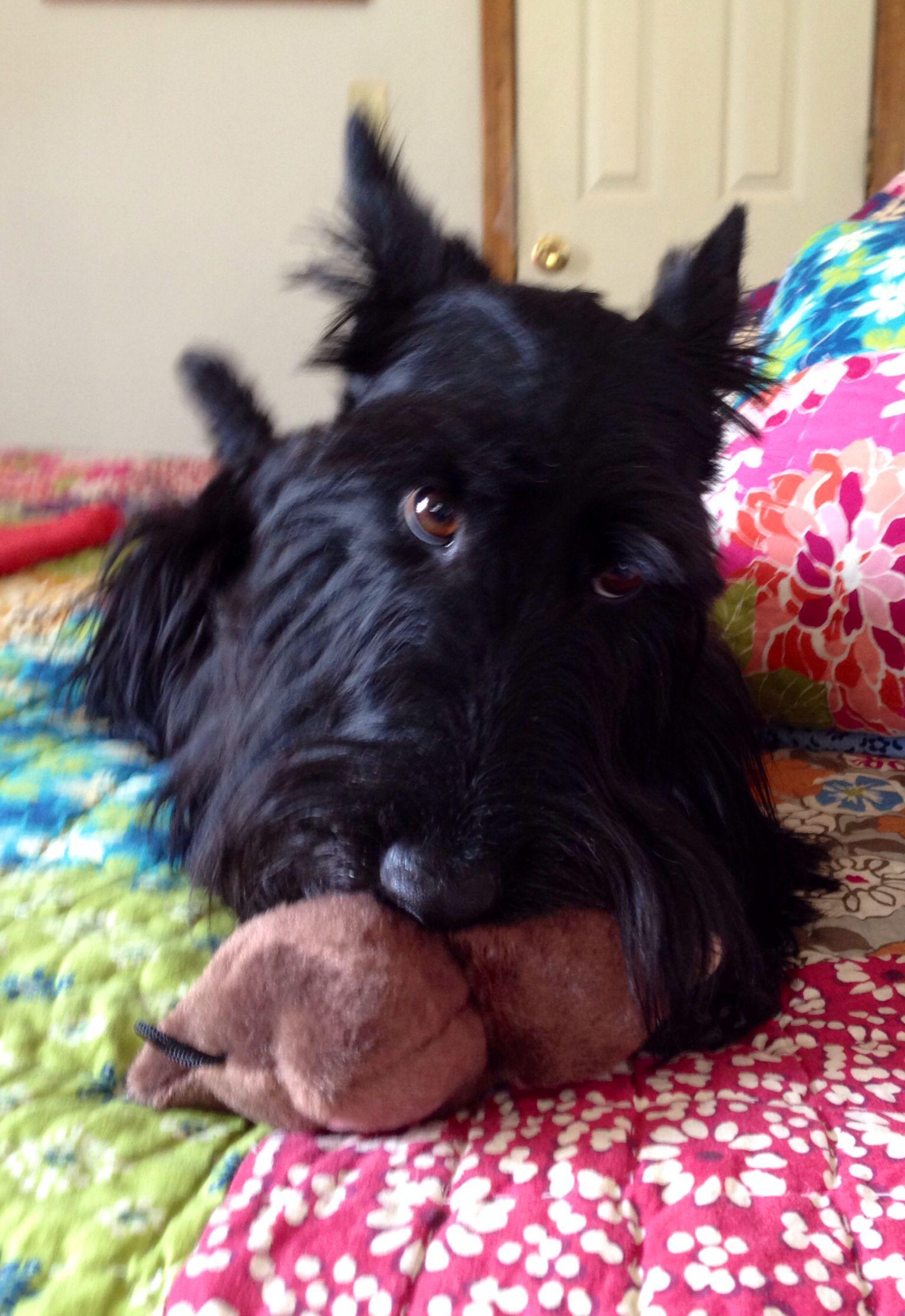 Indy loves his owl scottie terrier scottie dog