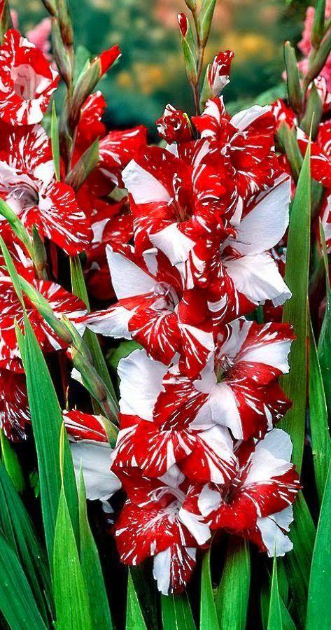 Selected Best Photos Flowers Bulb Flowers Gladiolus Flower Beautiful Flowers