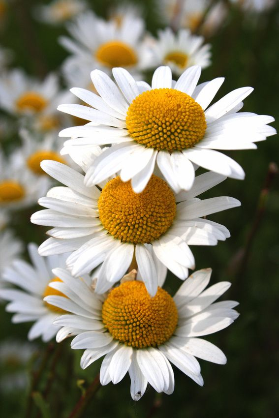 Ox Eye Daisies -self seeding. ju-sept. can cut out with finished to stop overcrowding