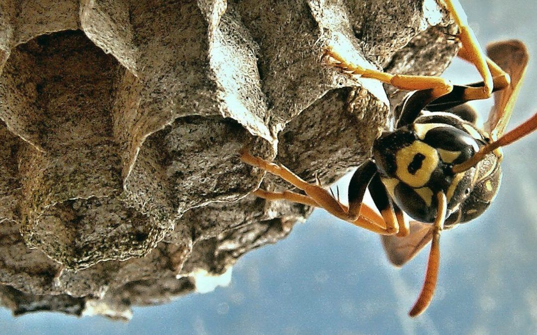 How to Remove a Wasp Nest Wasp nest