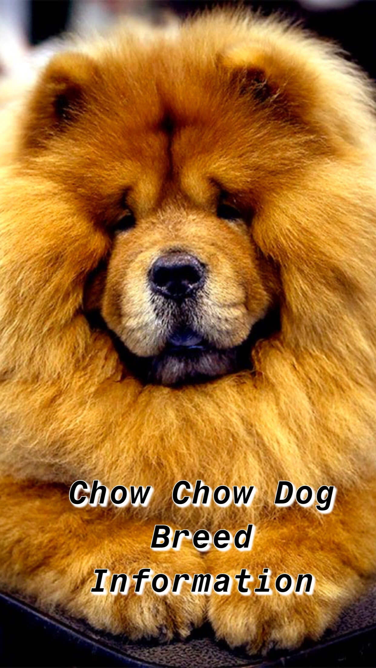 Ultimate Chow Chow Dog Breed Information Chow Dog Breed Chow