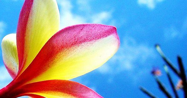 プルメリアを元気に育て 美しい花を咲かせる5つのポイント プルメリアの花 美しい花 植木鉢