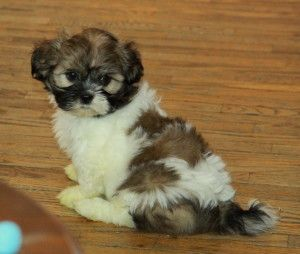 Cute Shih Tzu Puppies Shih Tzu Puppy Shih Tzu Puppies For Sale