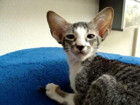 Oriental Shorthair Kittens 9 Weeks Old Youtube Oriental