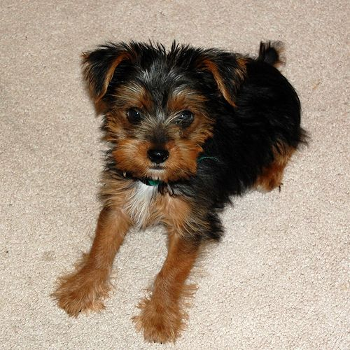 Yorkie cairn terrier mix! Puppies! Dogs, Wire fox