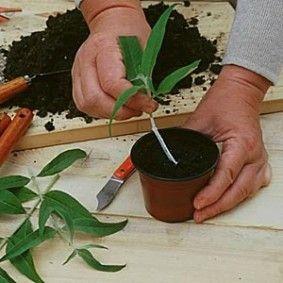 le calendrier pour bouturer les fleurs et arbustes d 39 ornements travaux bricolage jardin. Black Bedroom Furniture Sets. Home Design Ideas