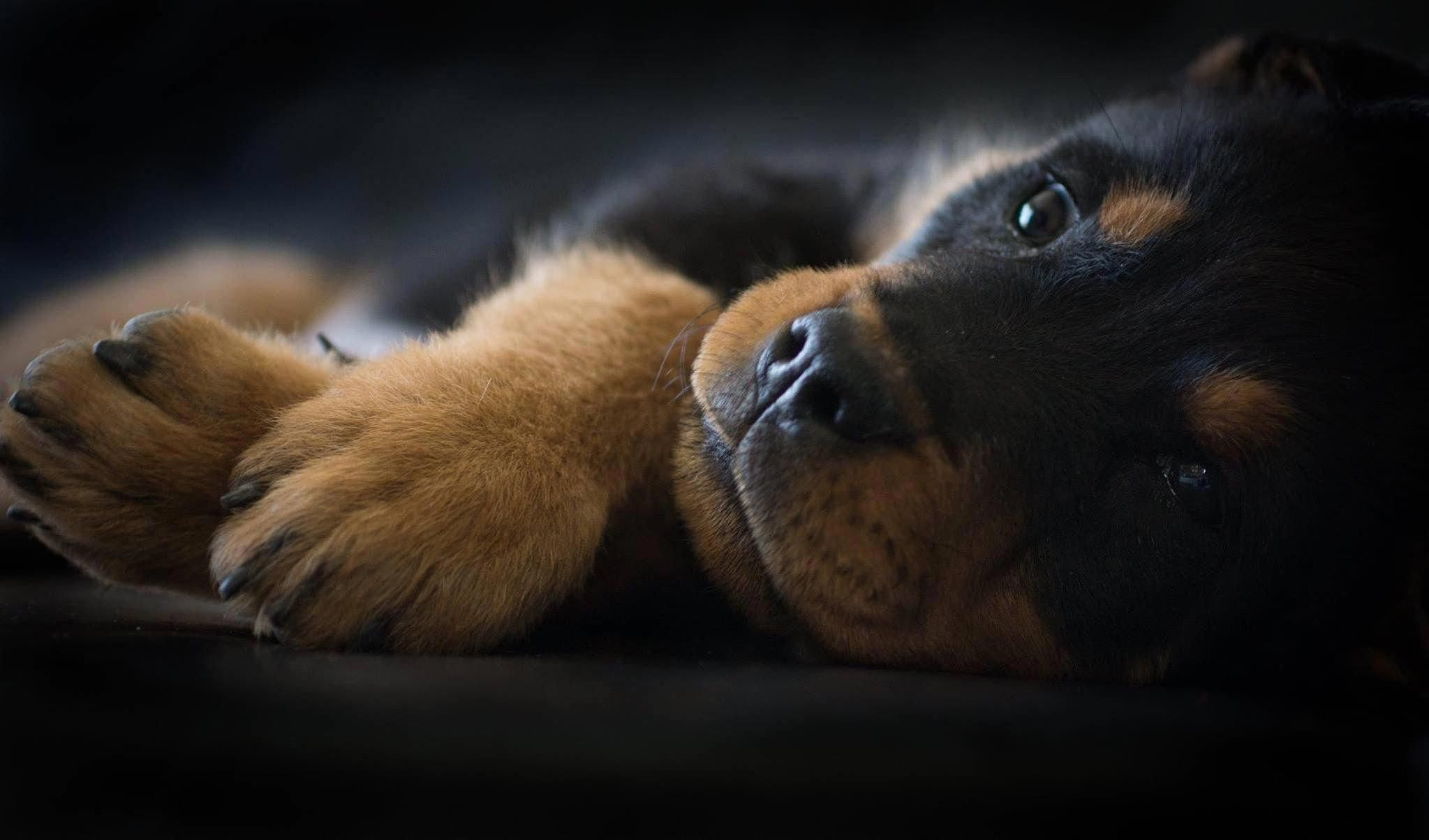 Pin by Dog Boutique Blog on Dogs in 2020 Rottweiler
