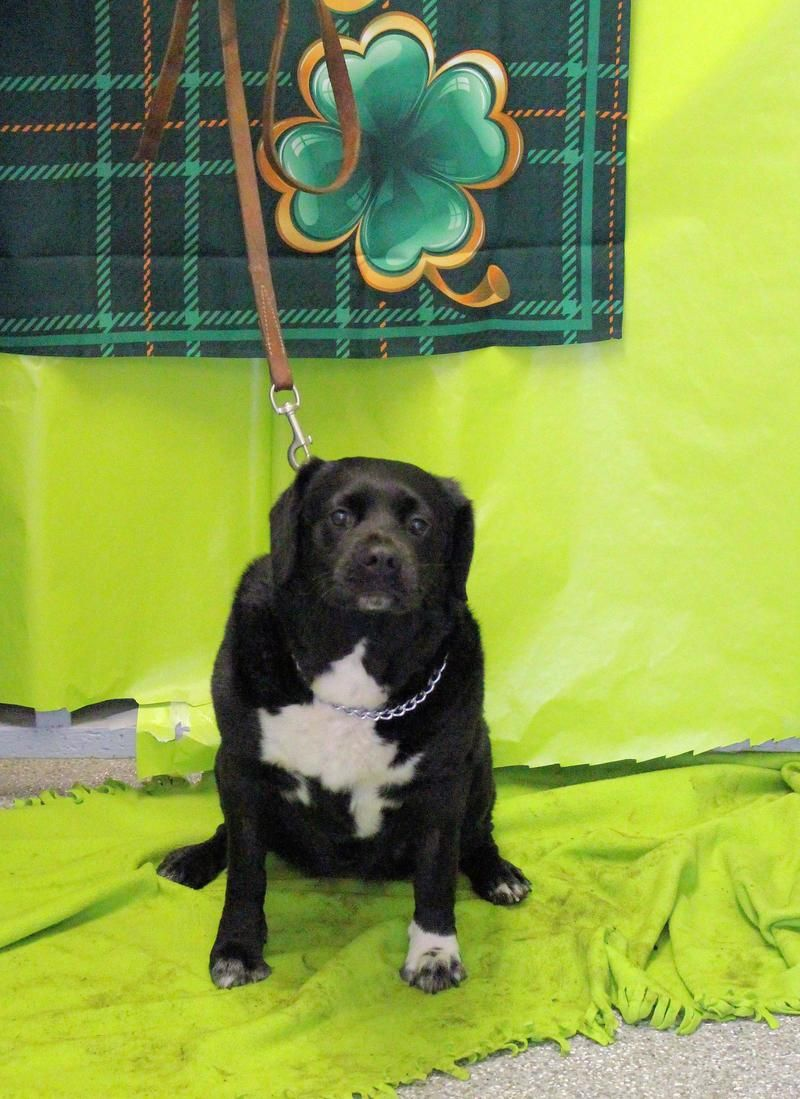 Adopt Pip On Corgi Mix Black Labrador Retriever Coos Bay Oregon