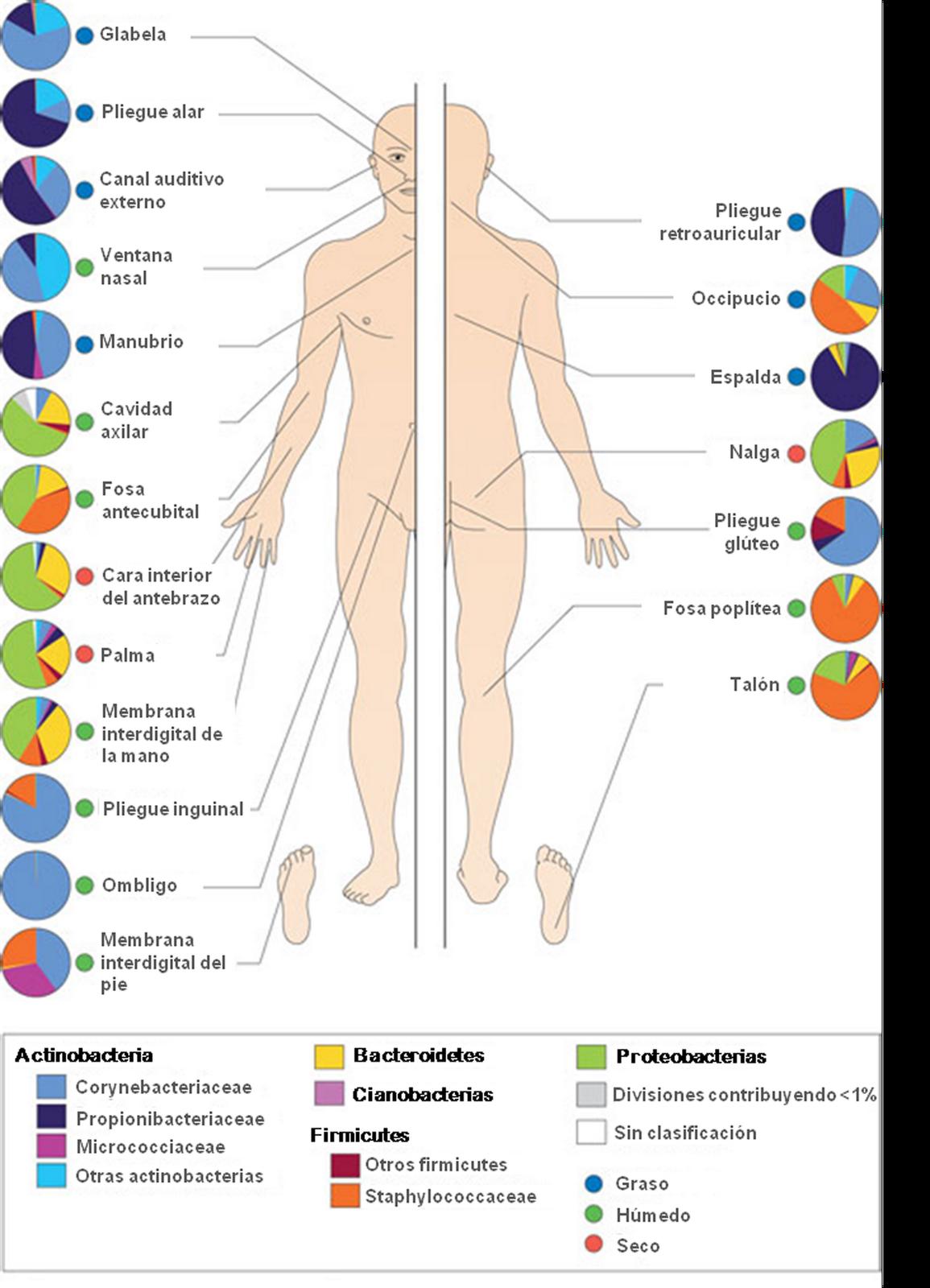 17.- Además, nuestra coraza microbiana es distinta según donde mires ...