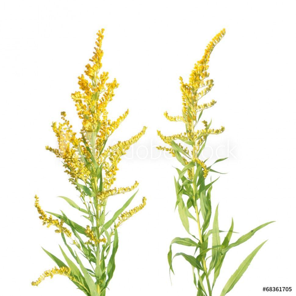 Ten Unexpected Ways Goldenrod Flower Tattoo Can Make Your Life Better In 2020 Goldenrod Flower Flower Tattoo Flowers