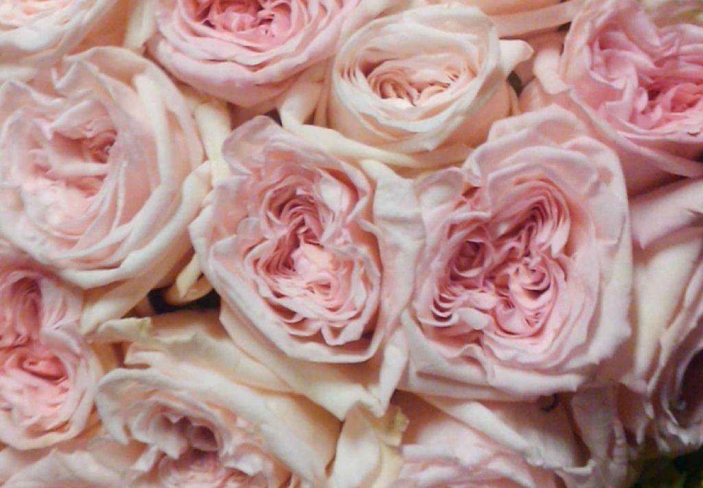 Image Result For Pink Ohara Garden Roses Scent Garden Pink