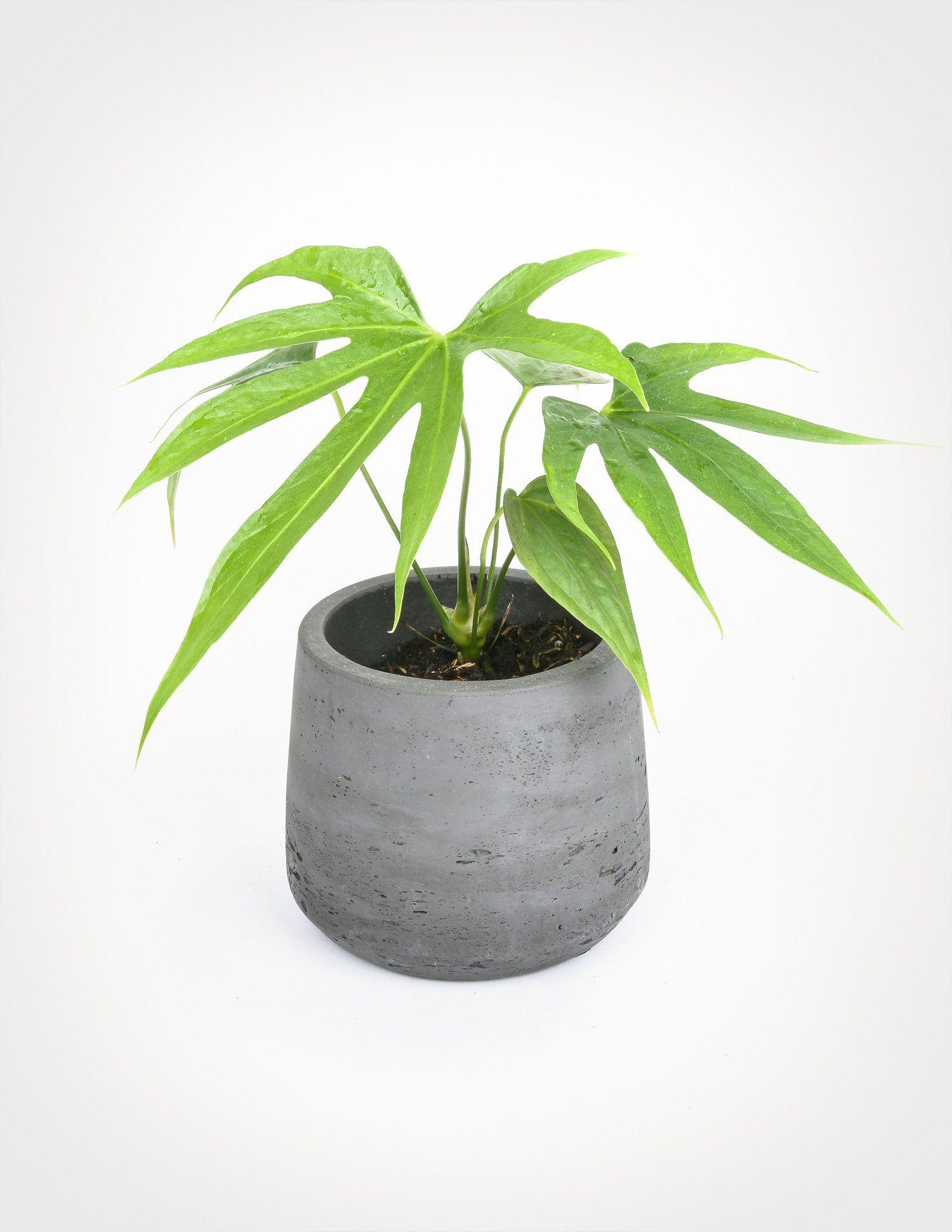 Anthurium Pedatoradiatum Fingers Anthurium Making Plant Pots Plants