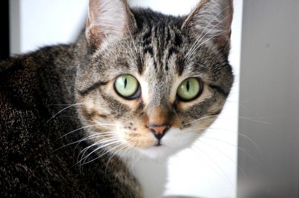 Precious, DSH, 3 years, Female Find me on pawschicago