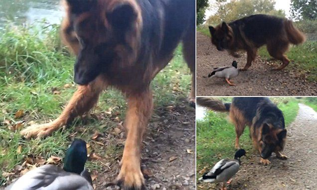Quacking duck blocks tow path and chases a bemused Alsatian