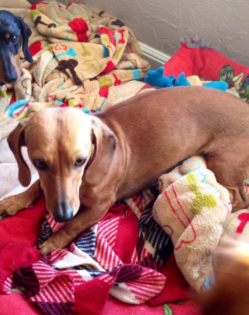 Petfinder Adoptable Dog Dachshund Moore Ok Alex Dog