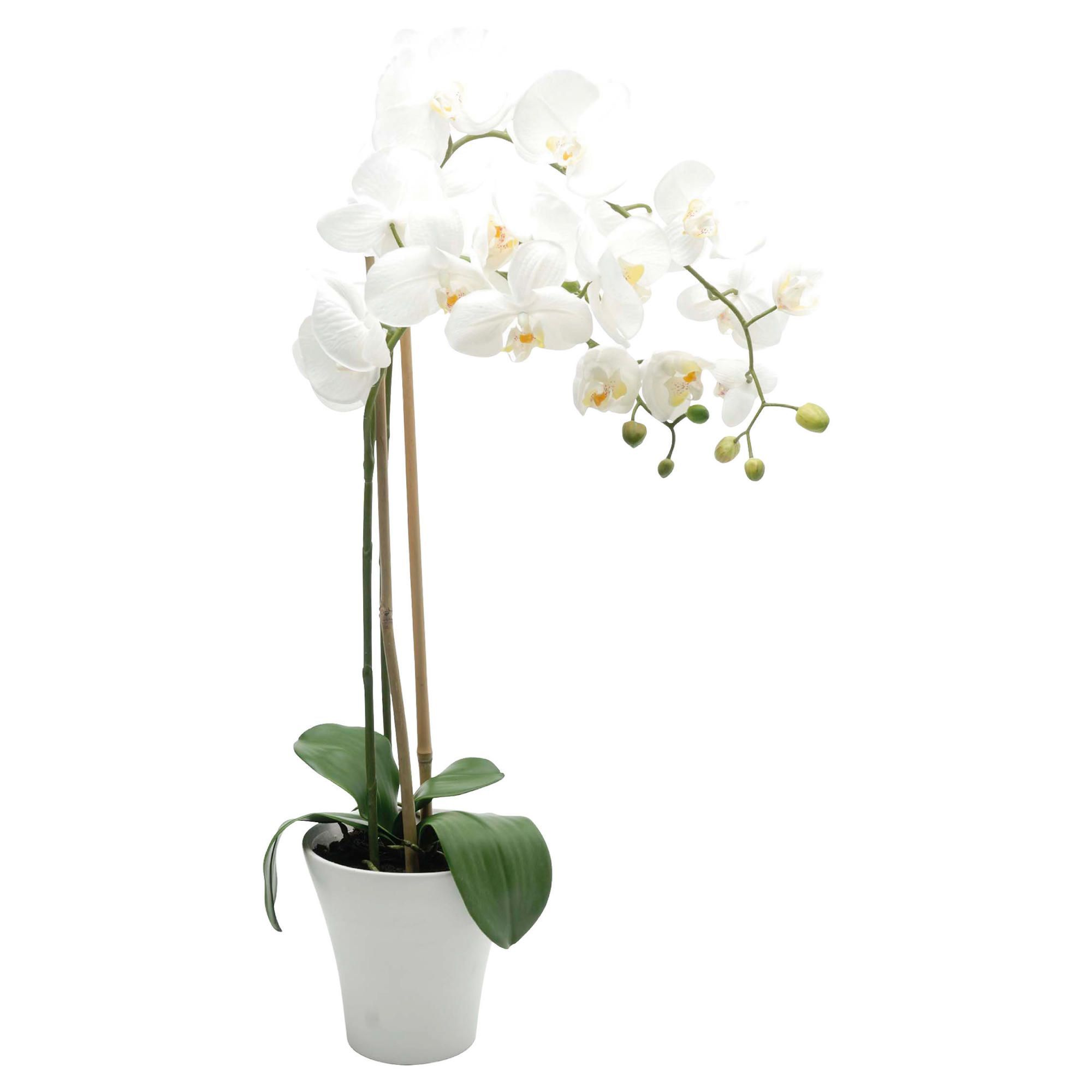 Orchid For Front Of Store Orchids Tesco Tesco Direct