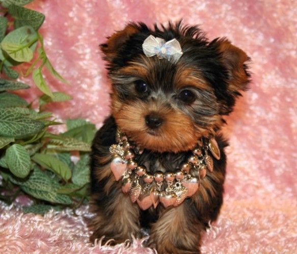 Teacup Yorkies for Adoption | Healthy Teacup Yorkie Puppies For Free