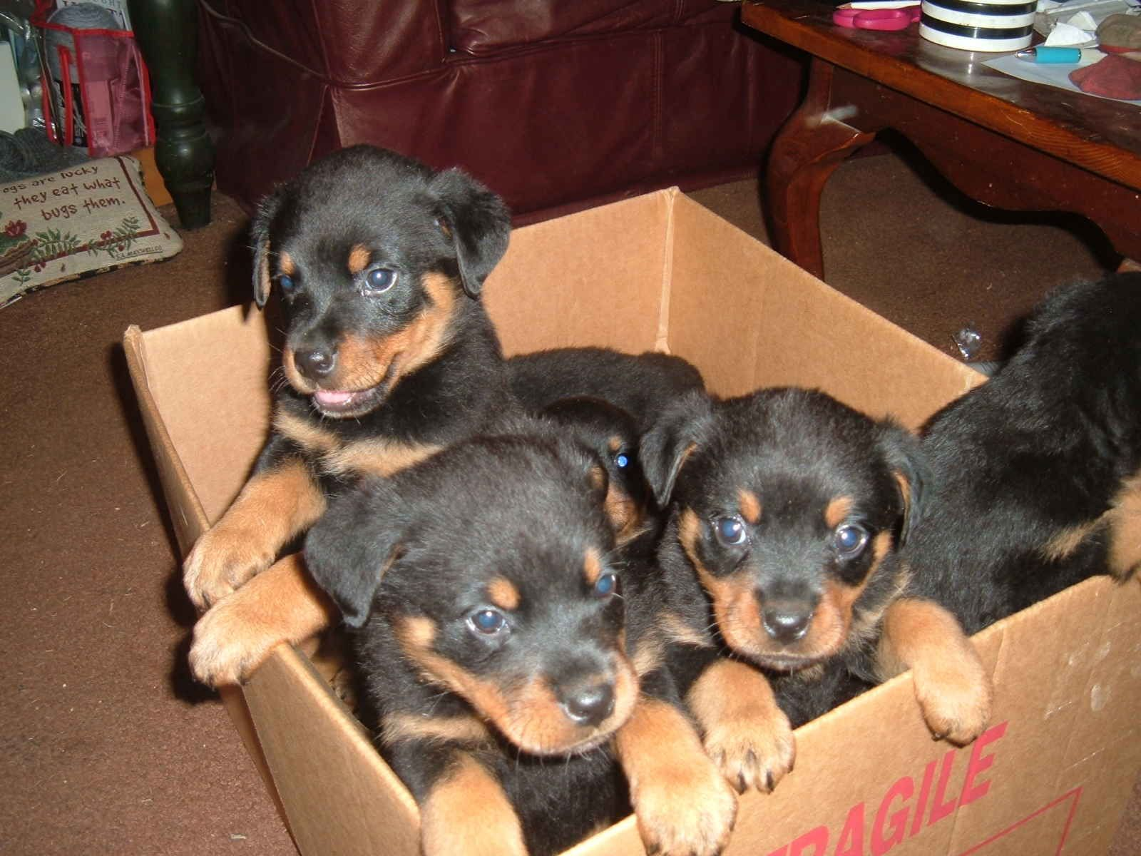 My Brothers New Litter Of Rottweiler Pups Free Rottweiler