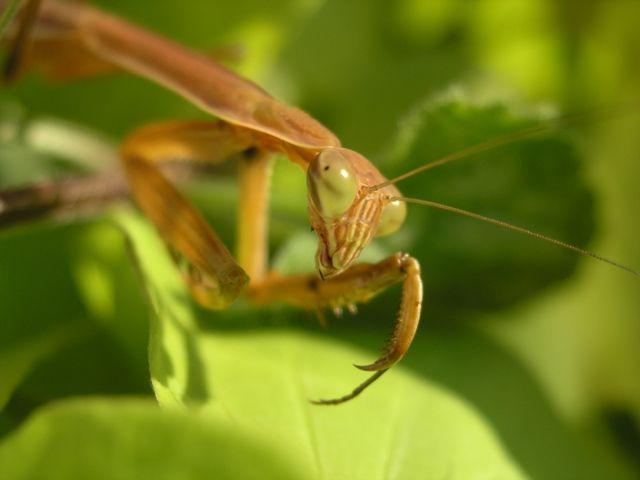 praying mantis eggs for sale home depot