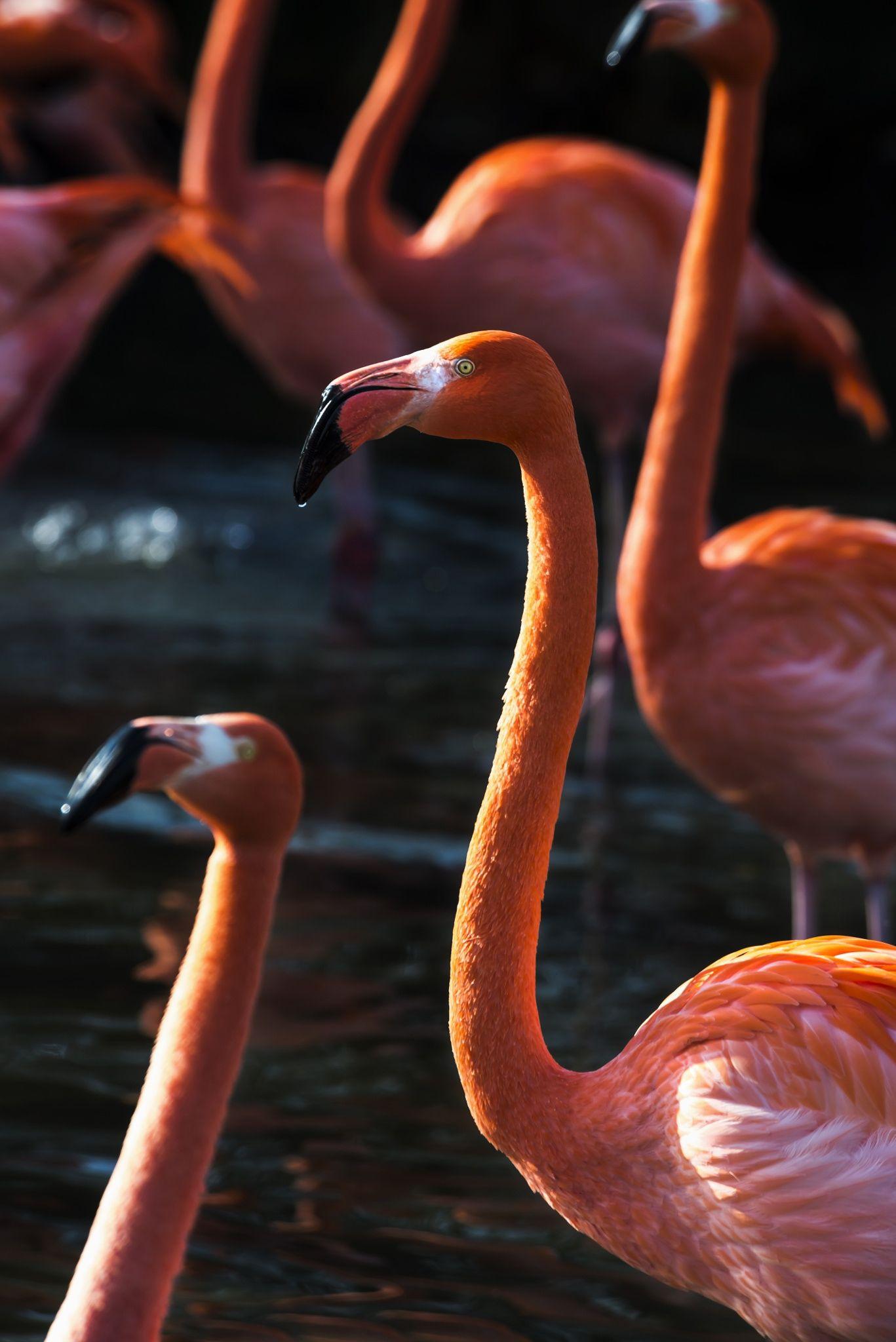 Flamingo Dance - Flamingos in water.