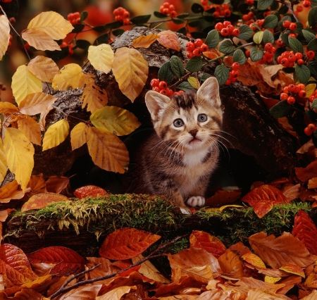 Kitten In A Fall Leaves Desktop Nexus Wallpapers Kittens And Puppies Cats Animals