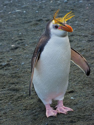Royal Penguins breed on the sub-Antarctic islands in the Australian region