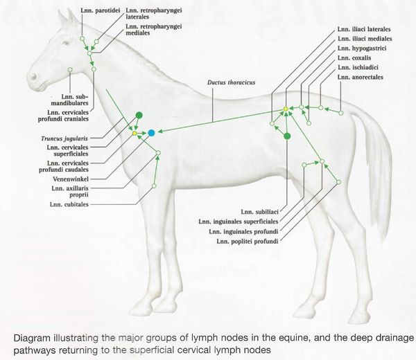 lymph system diagram
