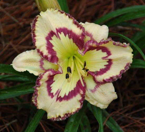 Daylily, Hemerocallis 'Faberge Easter' (Petit, 2008)