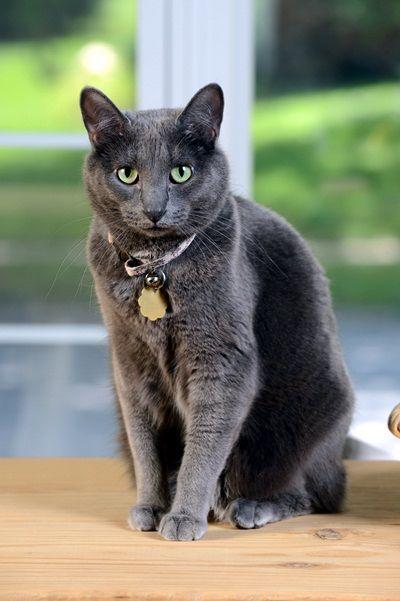 Korat Cat Korat Cat Cat Care Cat Breeds