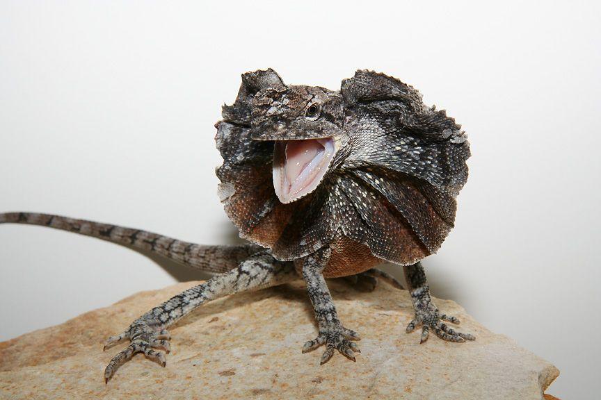 Resultado de imagem para Chlamydosaurus