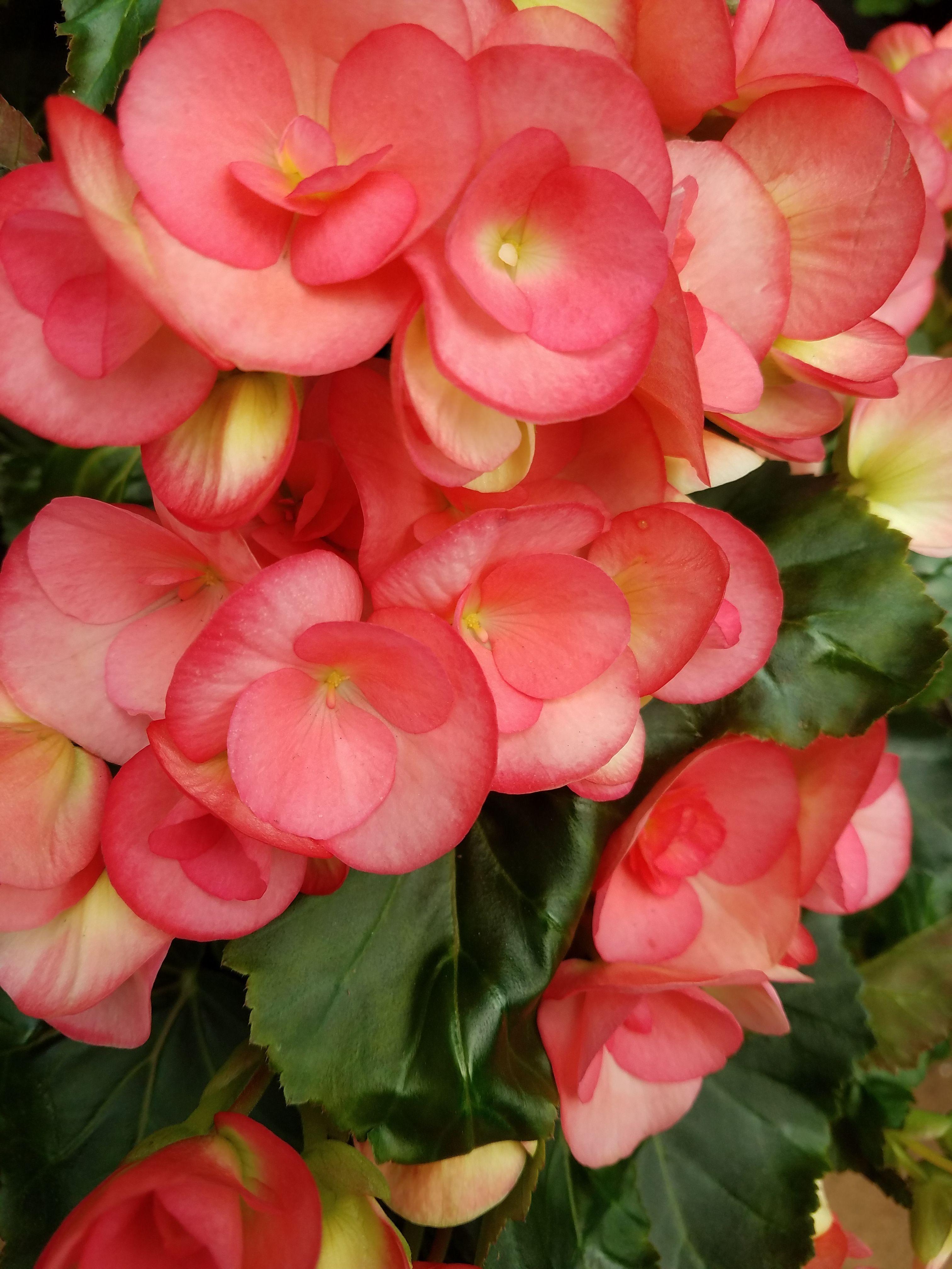 Begonias 101 Bucks Country Gardens Annual Plants Begonia Tuberous Begonia