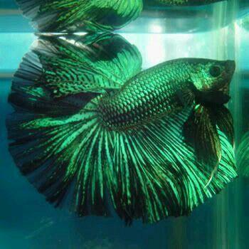 Gr ner kampffisch fische garnelen usw pinterest for Kampffisch aquarium