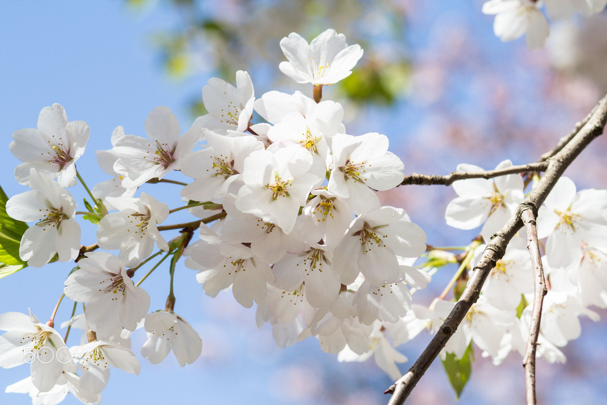 Cherry Blossoms Cherry Blossoms Blooming In The Spring Spring Blossom Blossom Cherry Blossom