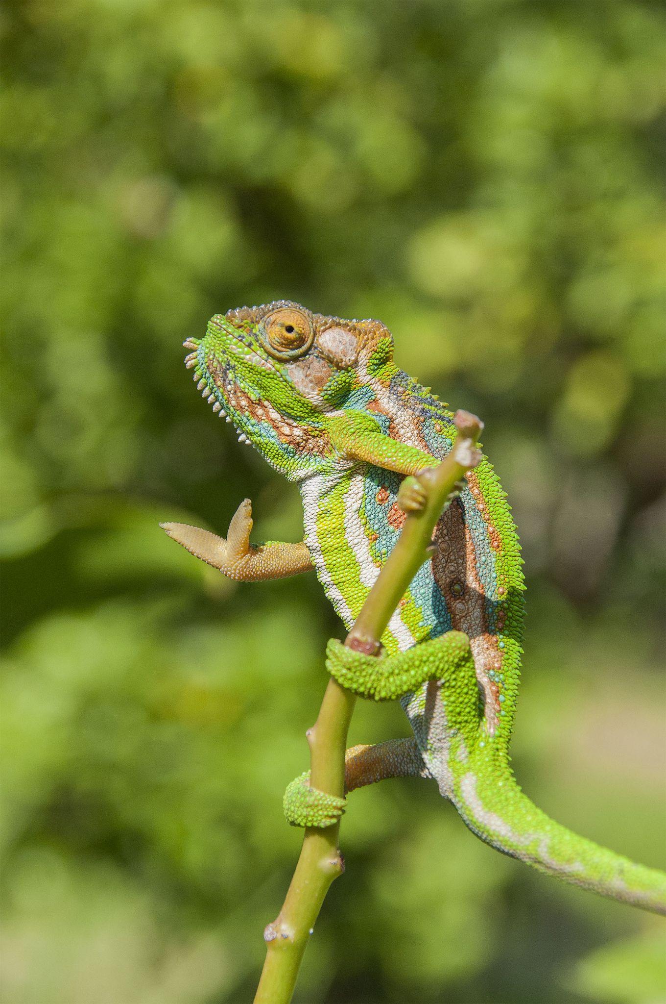 https://flic.kr/p/qHBD5S | chameleon | The Cape dwarf chameleon Bradypodion pumilum