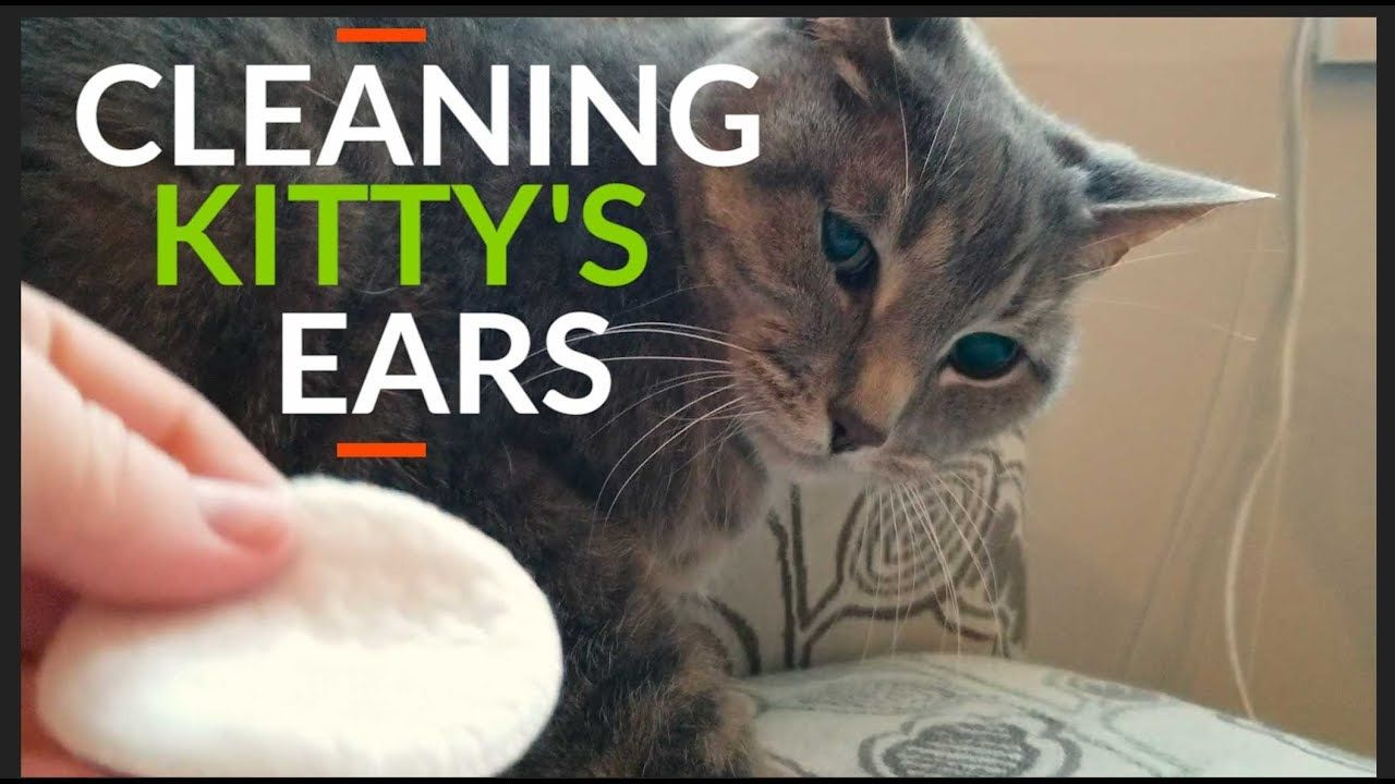 How to clean cats ears clean cat ears cats cat ears
