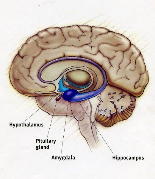 The Limbic System   Nervous System   Pinterest Limbic System System