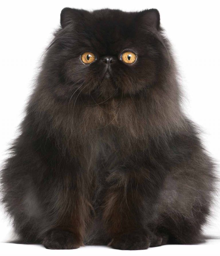 Black Cat Breeds Which Ones Make The Best Pets? Black