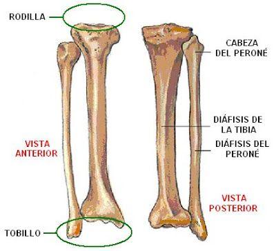 Huesos de la pierna derecha | Anatomía para el movimiento ...