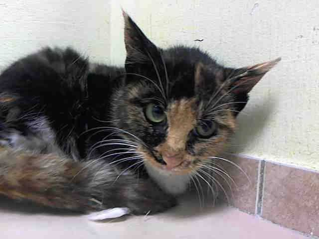 Pulled By Pet Adoption League Of New York To Be Destroyed 1 24 15 Nyc Adorable Little 8 Month Old Brooklyn Center My Animal Cat Adoption Pet Adoption