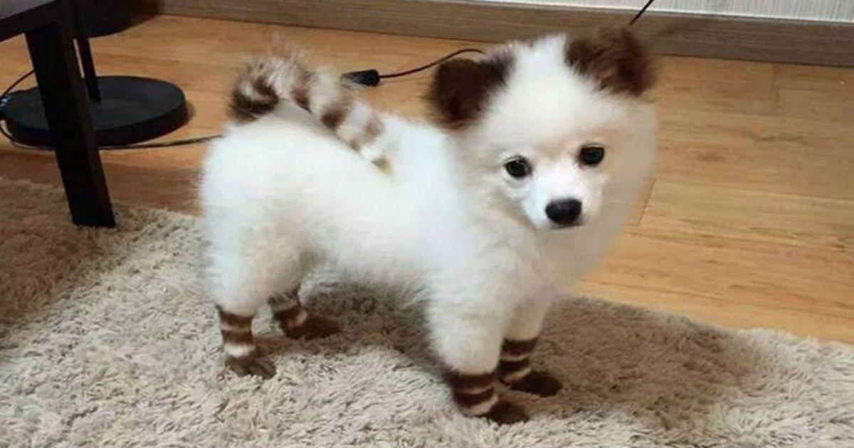 Pomsky H Diastayrwsh Husky Kai Pomeranian Poy 8a Latrepsete 7 Glyka Kai Xaritwmena Zwakia Fanpage American Eskimo Dog Cute Pomeranian Cute Dogs
