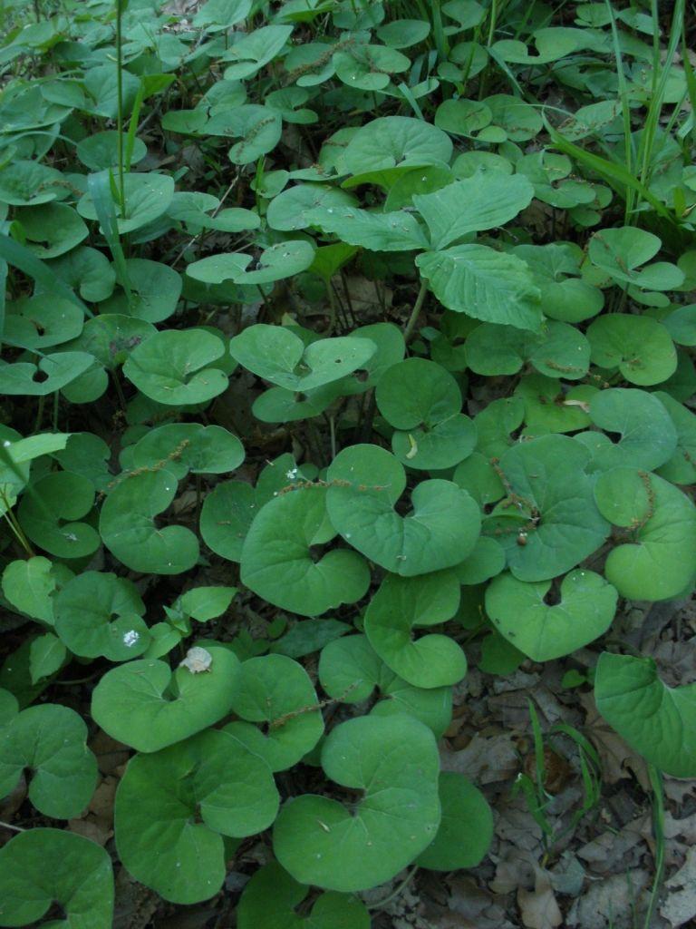 Wild Ginger Asarum Wild Ginger Asarum Canadense Wild Ginger Wildflower Garden Native Garden
