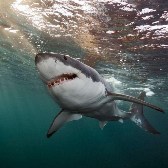 New England Aquarium | Shark in the ocean, White sharks ...