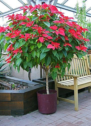 Poinsettia Tree Still Growing Plants Poinsettia Plant Planting Flowers