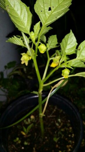 Planta De Tomatillo Verde Plantas De Tomate Tomates Verdes Plantas