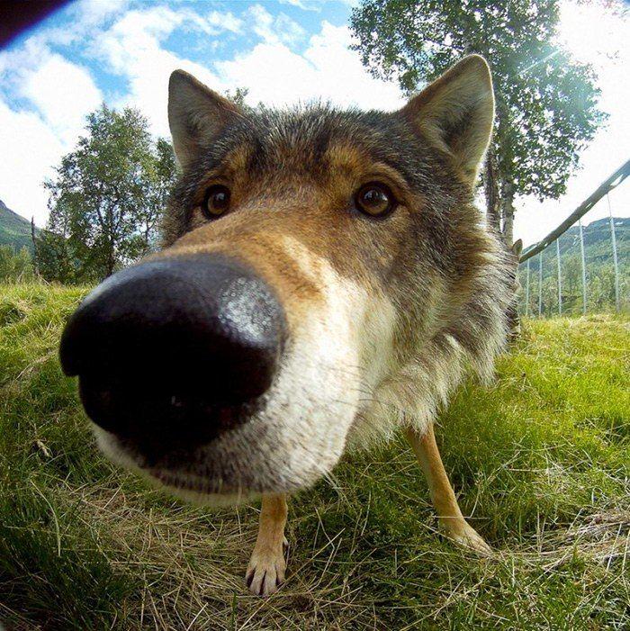 Веселые картинки с волком