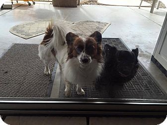 Phoenix Az Papillon Terrier Unknown Type Small Mix Meet Otis And Elvis A Dog For Adoption Dog Adoption Dogs Animal Shelter