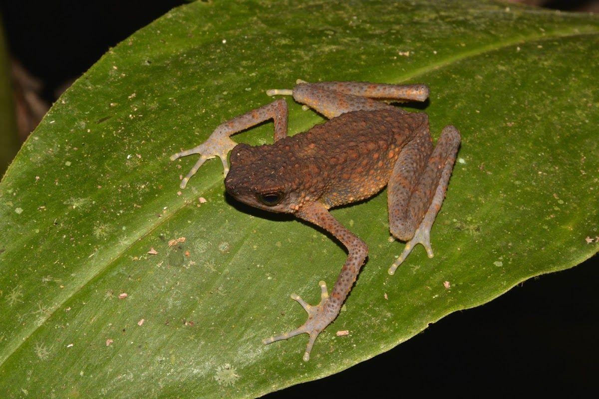 Long-fingered Slender Toad