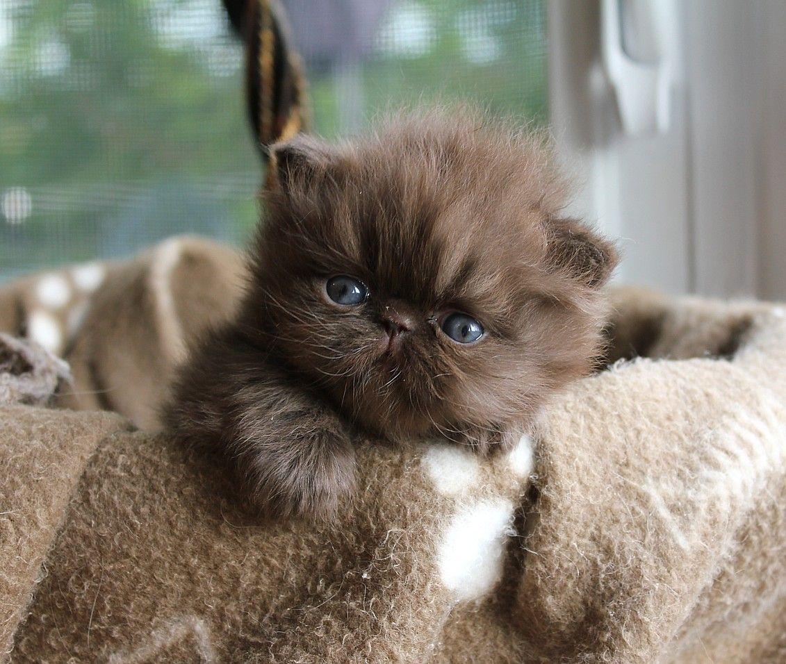 Alfenloch Choc Lat Shake Solid Chocolate Male Persian Kitten Persiancatchocolate Kittens Cutest Cute Cats Cats