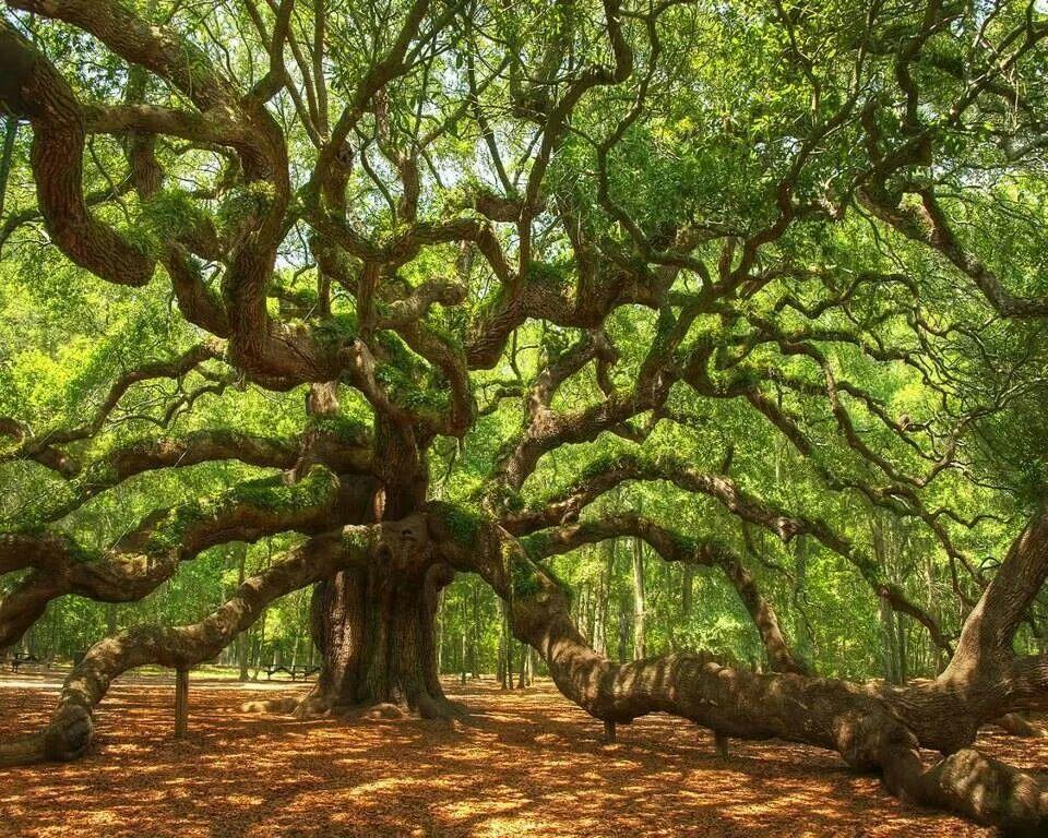 El roble del Ángel con más de 1500 años. Angel Oak Park, EE.UU.