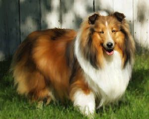 Sheltie Sheltie Dog Love Cute Puppies